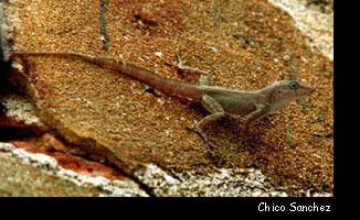 Los cuadernos de Calpurnia: Lizards, lagartos y cicak